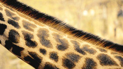 Close up of the distinctive spots on a giraffe's neck