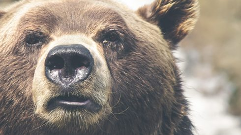Close up of a determined looking brown bear