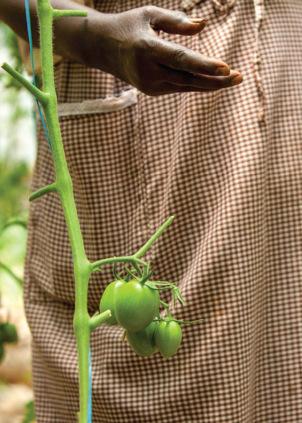 Cropped image tomato stalks and grower