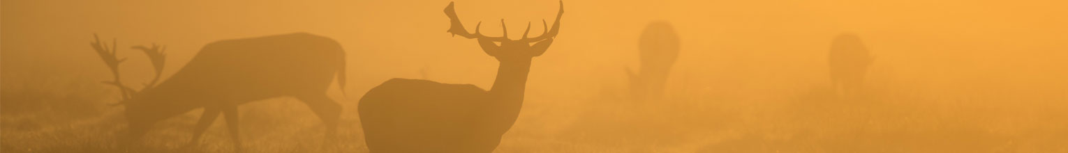 Grazing stags in the morning mist.